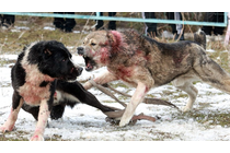 Help End 'Superior Breed' Dog Fighting in Kyrgyzstan