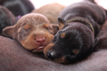 Chocopinschers to be included in the FCI standard of the German Pinscher breed