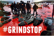 Stop whale slaughter on Faroe Islands